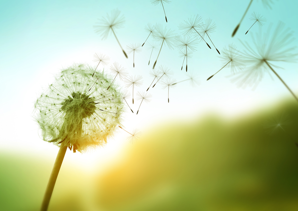 Late summer writing prompt: The simple things. This image shows a dandelion plant losing some of its seeds to the wind on a bright summery day.