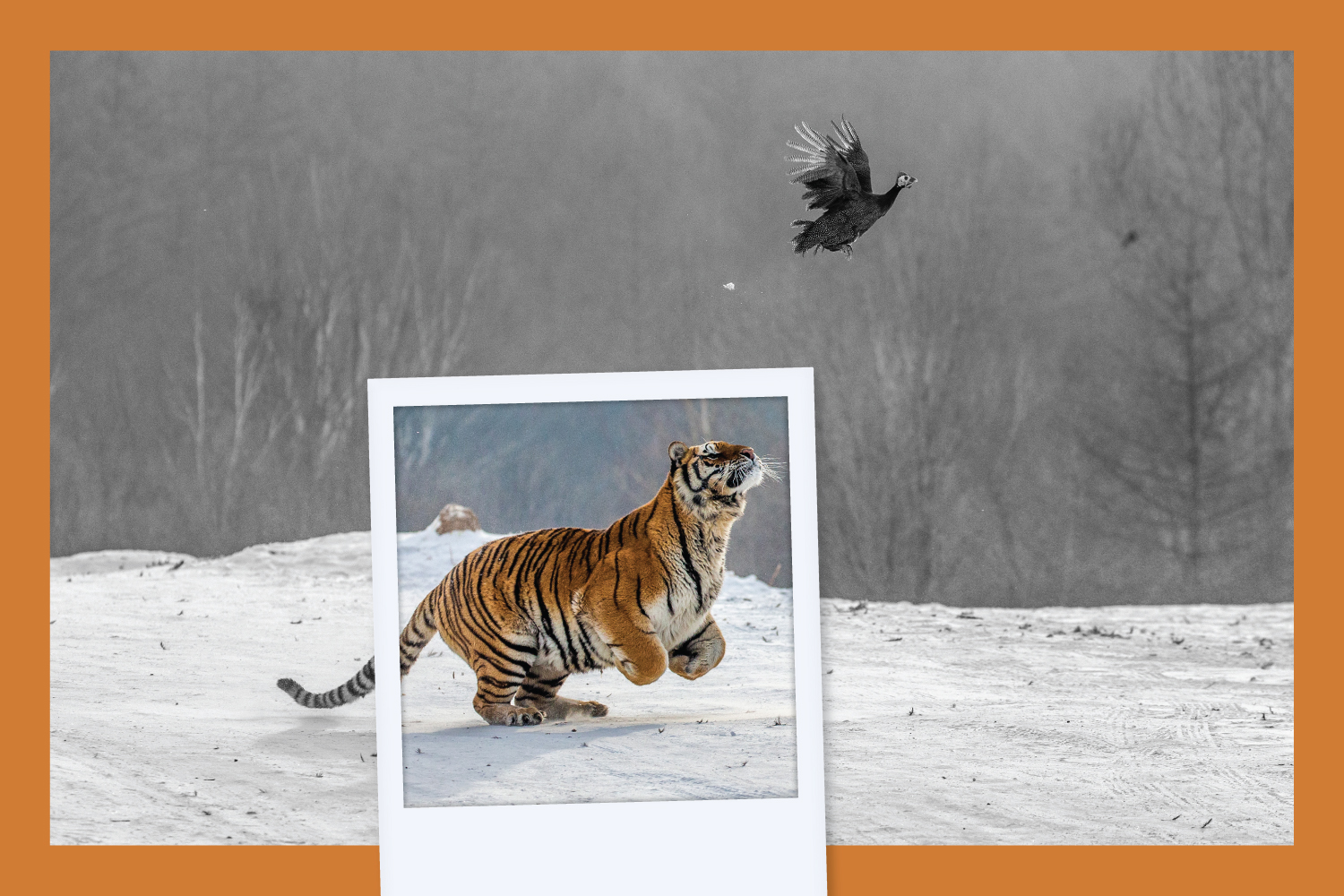 A cropped photo of a leaping tiger is superimposed on the original version of the photo, in which we can now see a bird flapping away from the leaping tiger.